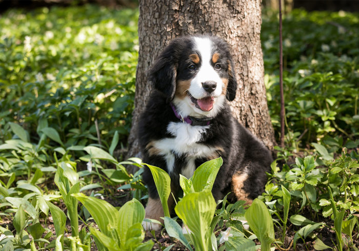 Ivy the Bernese Mountain Dog as a puppy sitting in the gardens outdoors