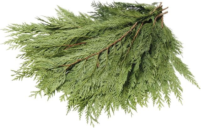 Western Red Cedar Boughs Bundle